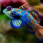 10-peixe-mandarim