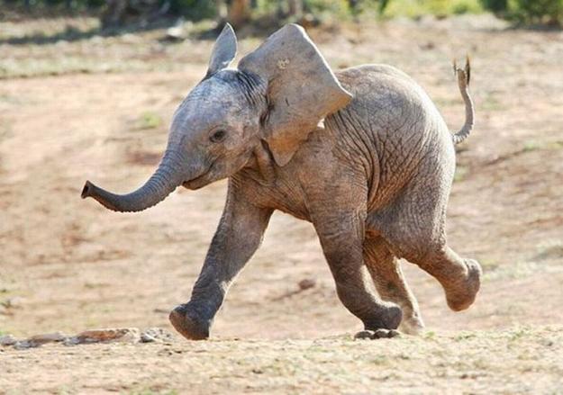 filhote de elefante feliz para facebook