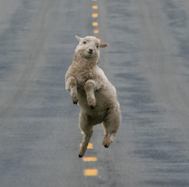 ovelha feliz fotos de animais felizes para facebook