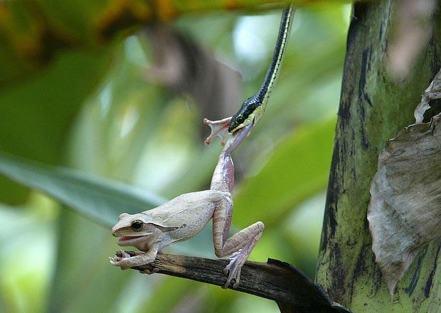 cobra versus sapo comendo