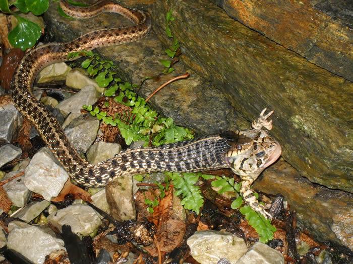 foto de cobra comendo um sapo