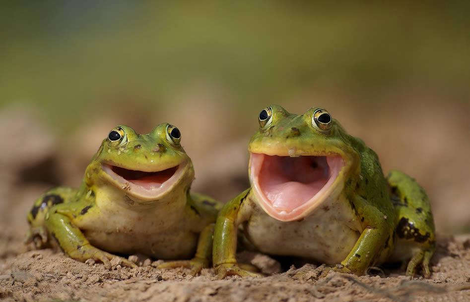 foto de sapos cantando