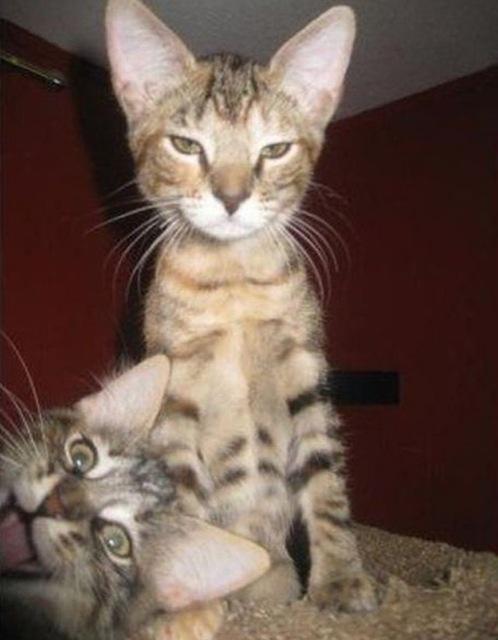 fotos de fotobomb dois gatos