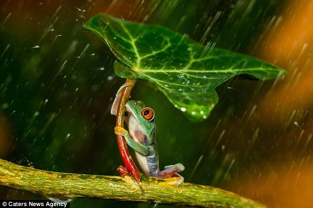 sapo usando guarda chuva