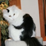 foto do gato com macaco desenhado no corpo
