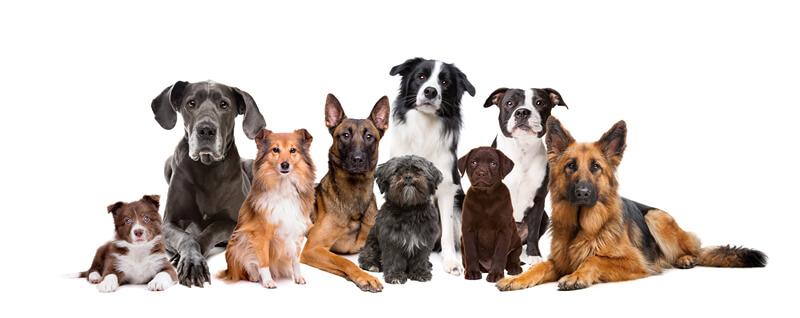 Raça de Cachorro mais Inteligente