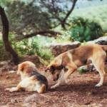 raças de cachorros mais inteligentes
